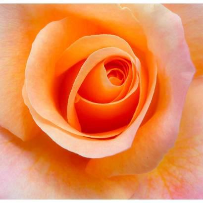 Фотообои Бутон розы | арт.28464