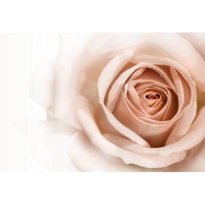 Фотообои Чайная роза | арт.28471