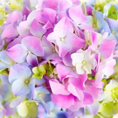 Фотообои Цветы. Гортензия | арт.28477