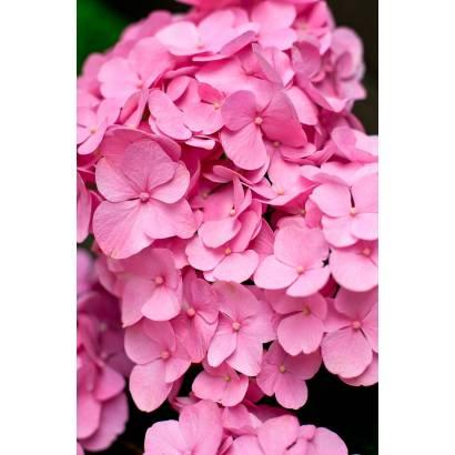 Фотообои Розовая гортензия | арт.28501