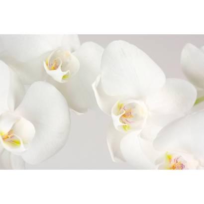 Фотообои Белая орхидея | арт.28502