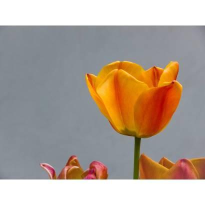 Фотообои Оранжевый тюльпан | арт.28522