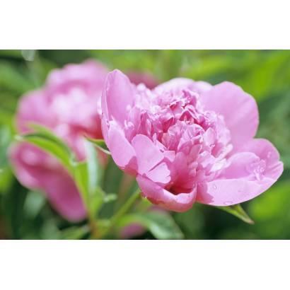 Фотообои Розовый цветок | арт.28523