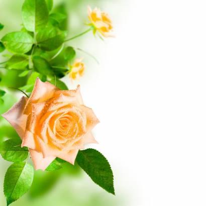 Фотообои Розы в листьях | арт.28548