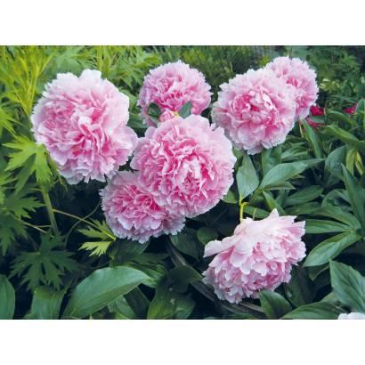 Фотообои Розовые Пионы в саду | арт.28564