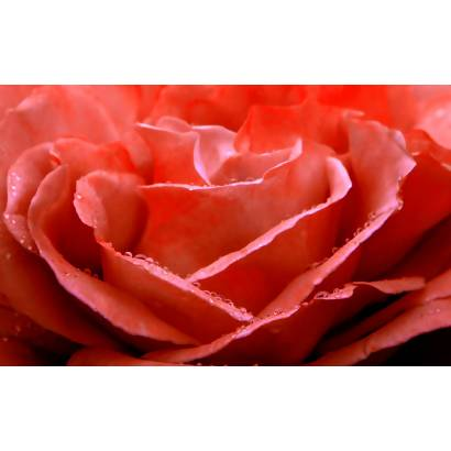 Фотообои Алая роза | арт.28592