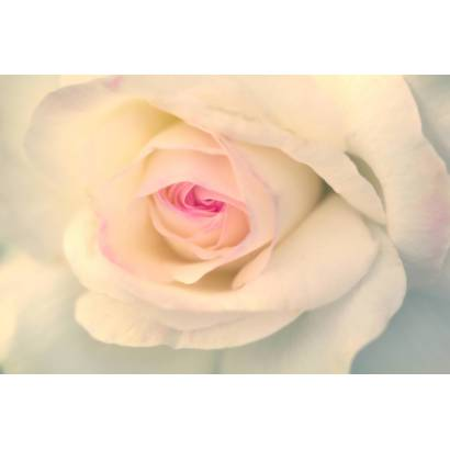 Фотообои Нежная роза | арт.28596