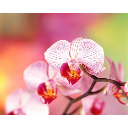 Фотообои Орхидея | арт.2860