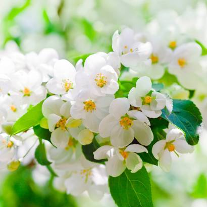 Фотообои Цветущая ветка яблони | арт.28618