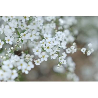 Фотообои Цветы вишни | арт.28674